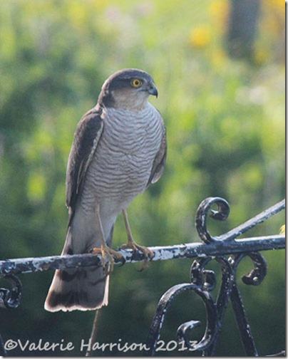 sparrowhawk-2