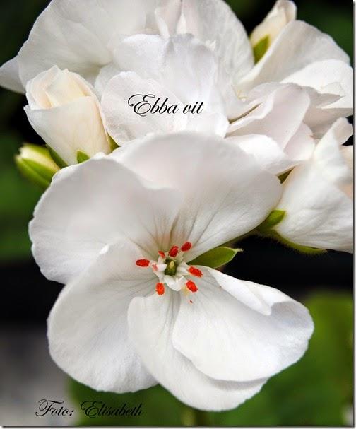 Pelargonium 16 juni -14 021