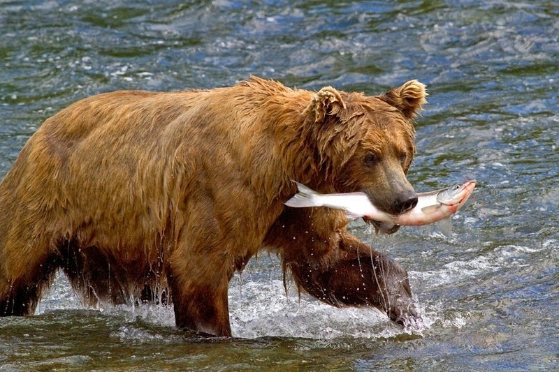 brooks-falls-bears-2