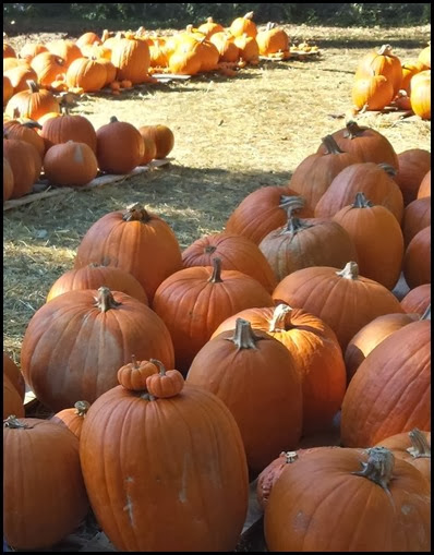 pumpkin patch5