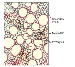 Protoxylem and metaxylem