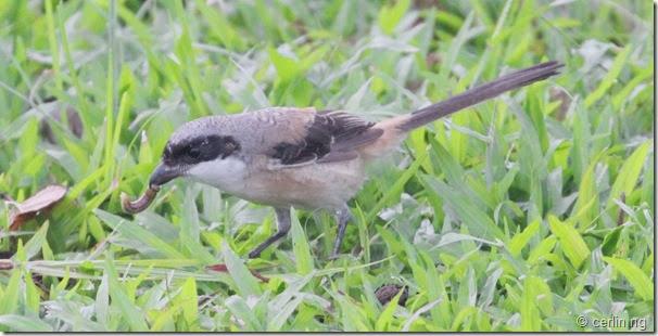 long tail shrike (2)