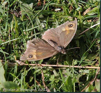 12-meadow-brown