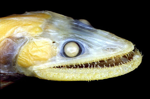Fierce Lizardfish (Bathysaurus ferox) – Living in at depths between 800-3000m the fierce lizardfish is a predator in the darkness. Growing up to 64cm these predators eat anything they can ambush - their hinged teeth fold inwards to make sure their prey does not escape.