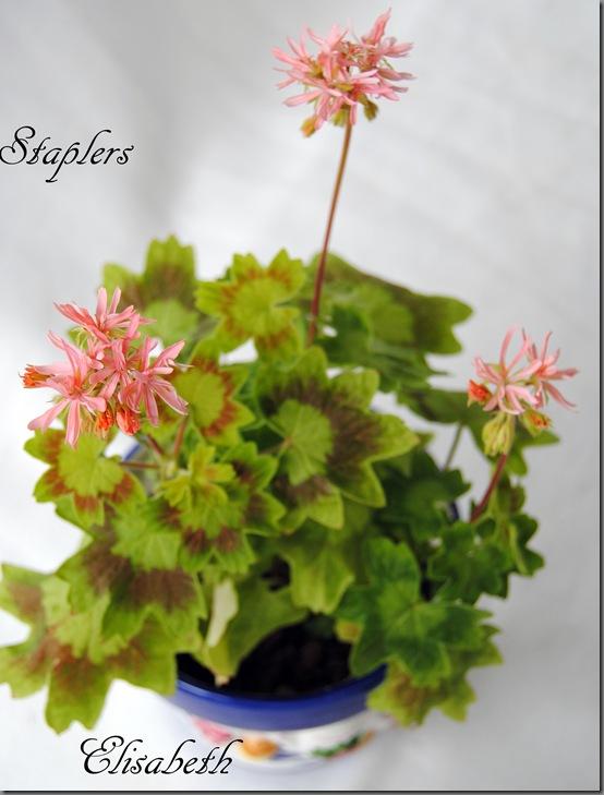 Pelargonium juni-11 079