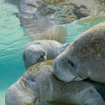 a threesome of Manatees