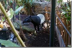 Tapir, Taronga Zoo