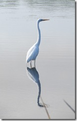 Great Egret at Huntington Beach