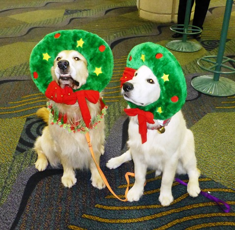 golden retrievers w xmas costumes