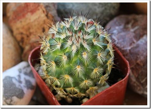 110804_Mammillaria-microhelia_02