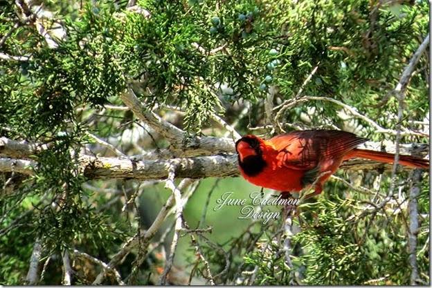 Cardinal_Watching2