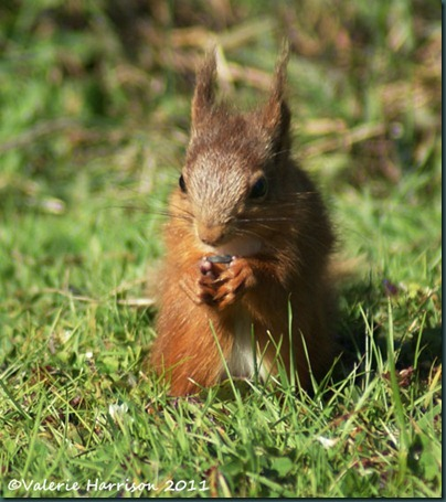 red-squirrel-and-seed