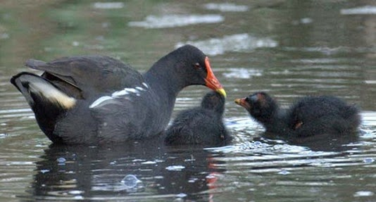 Amazing Pictures of Animals, Photo, Nature, Incredibel, Funny, Zoo, Common Moorhen, Gallinula chloropus, Aves, Alex (14)
