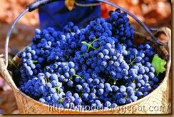 Высокие урожаи винограда 1