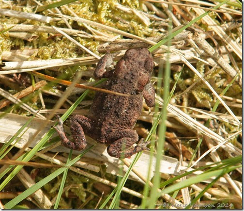 8-common-toad