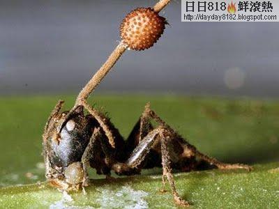 殭屍蟻 真菌