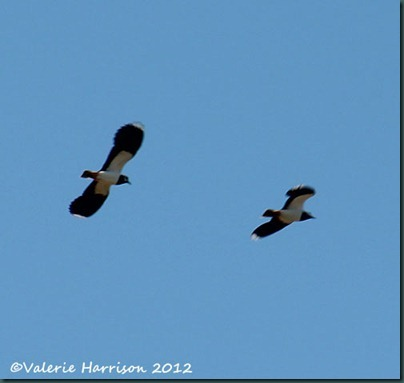 17-lapwings
