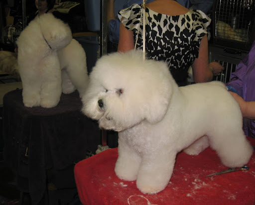 Real life cotton balls! A Bichon Frise gets pampered.