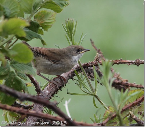 6 Whitethroat