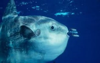 Amazing Pictures of Animals, photo, Nature, exotic, funny, incredibel, Zoo, ocean sunfish, Mola mola, or common mola, Alex (14)