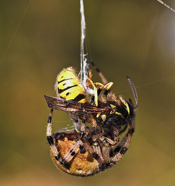 Spider vs wasp
