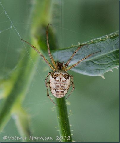 14-spider