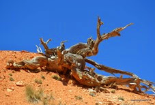 Dead twisted tree