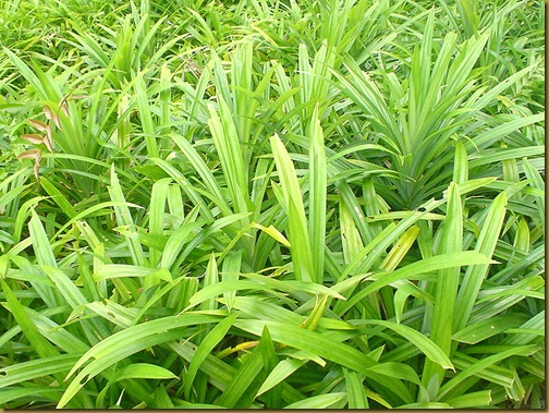 Pandanus amaryllifolius, the leaves of which give us Pandan flavouring.Pandan/Wikipedia user - dekoelie /Creative Commons attribution