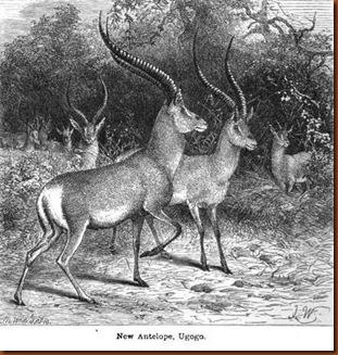 Antiloppes de Speke