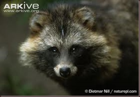 Amazing Animal Pictures Racoon Dog (2)