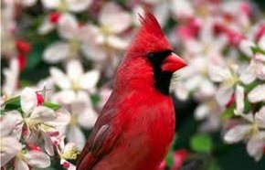 Amazing Pictures of Animals,photo, Nature, exotic, funny, incredibel, Zoo, Northern Cardinal, (Cardinalis cardinalis), Bird, Aves, Alex (9)