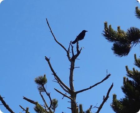 crow following us