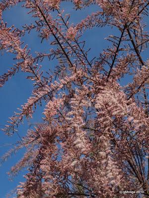 Tamaris de printemps Tamarix africana tetrandra