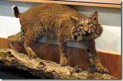 Bobcat!!