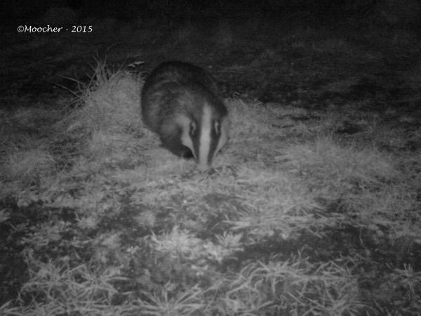 Badger03