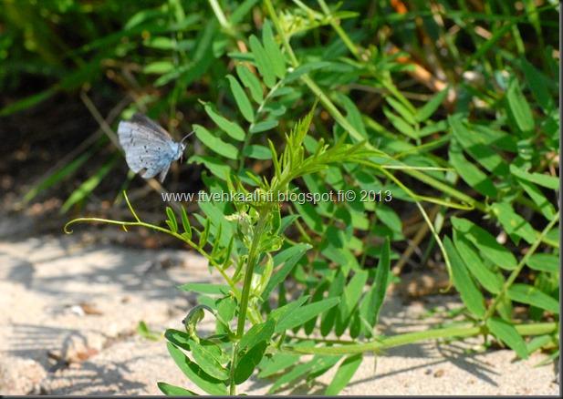 sunnuntain ötökkä kuvat outo perhonen toukka 105