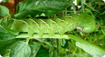 tobacco-hornworm