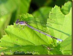 bo Violet Dancer male D7K_0251 NIKON D7000 July 19, 2011