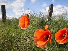 poppies_ap