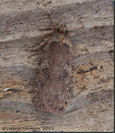 Agonopterix-5