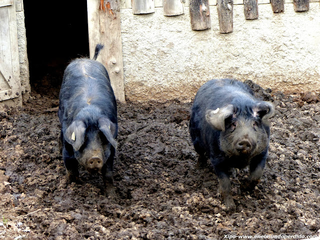 cerdo-negro-de-bigorre.JPG