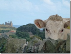 dunstanburgh and cow