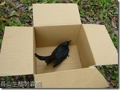 用紙箱安置野鳥