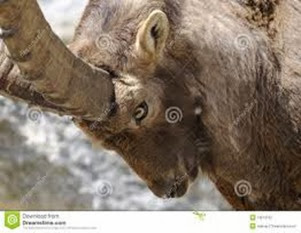 Amazing Pictures of Animals, Photo, Nature, Incredibel, Funny, Zoo, Alpine ibex, Capra ibex, Mammalia, Alex (3)