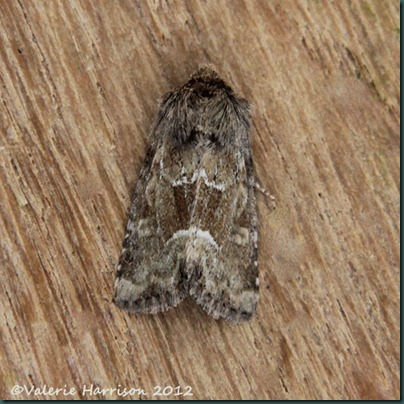 Middle-barred-Minor