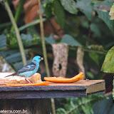 Amigos mais que benvindos -Saíra azul -  Guaratuba, São Paulo - Brasil
