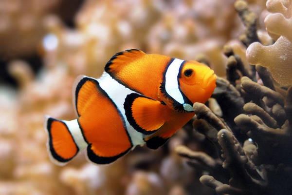 5- Peixe palhaço