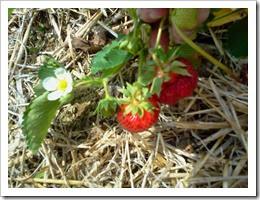 strawberry pickin' 2