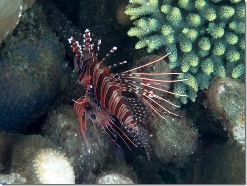 12 10 Bali (438) Jemeluk Lion fish