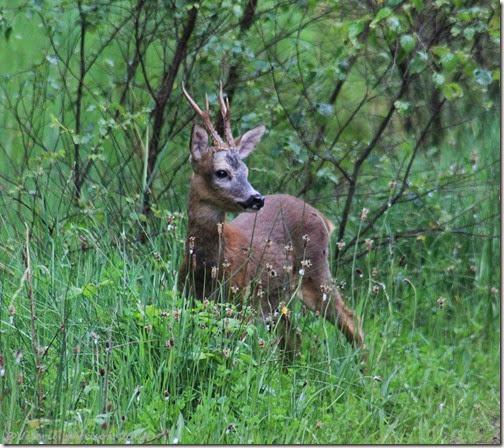 24-roe-deer